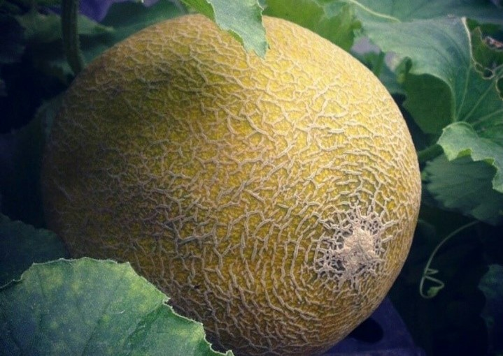 Grow juicy melons this summer