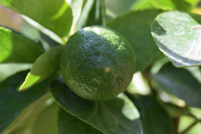 Get the zing from growing your own citrus plant