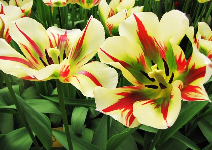Flowering Bulbs (Geophytes)