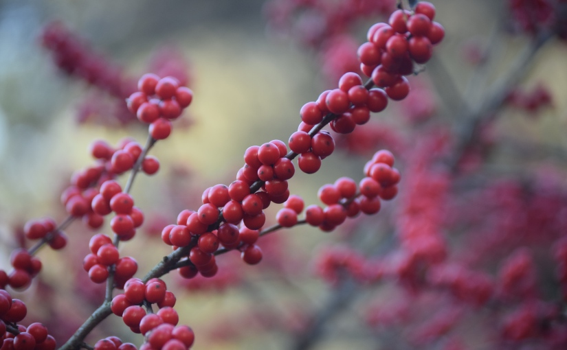 Winterberry for wow factor in the wintergarden