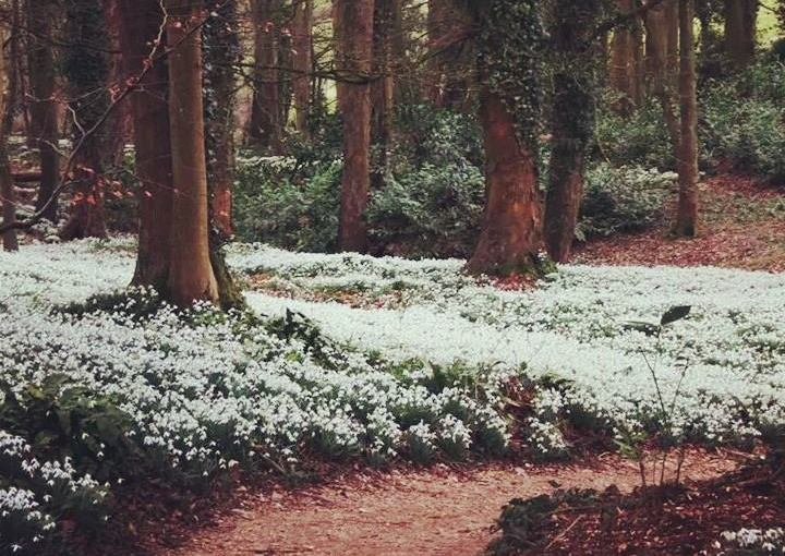 The Welcome Sight ofSnowdrops