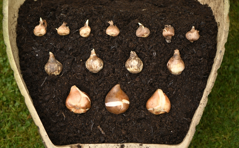 How to plant a bulb lasagne