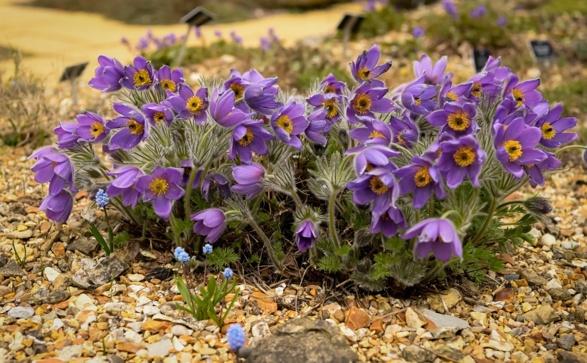 Growing Pulsatilla